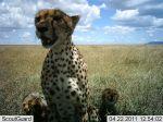 SLP cheetah with cubs