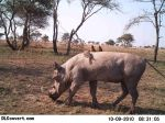 Warthog and Oxpeckers