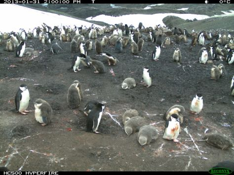 Penguins aren't always only black and white...