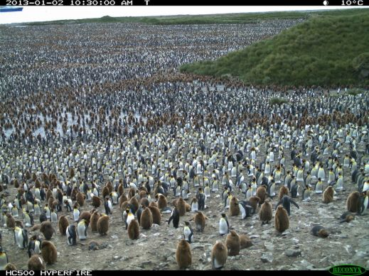 1st Rule of Penguin Watch - You don't have to count them all. But I dare you to!
